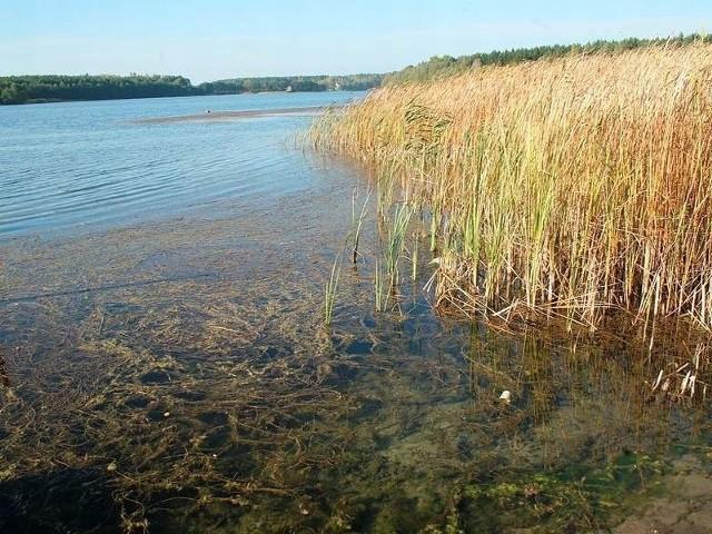 Roślina przy brzegu, w miejscach gdzie nikt się nie kąpie, rośnie do samej tafli wody