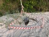 Sześć martwych fok leżało aż tydzień na plaży. Na całym wybrzeżu morze wyrzuciło aż 35