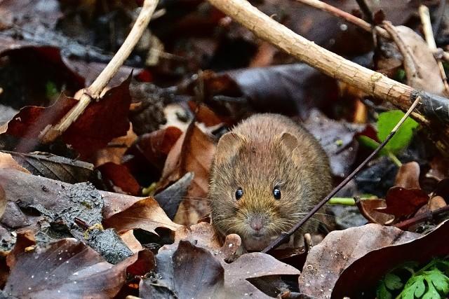 """Nornica jest często mylona z innymi gryzoniami: chomikiem albo myszą polną. To podobieństwo oddaje też jej nazwa naukowa """"myodes"""", co oznacza """"jak mysz""""."""