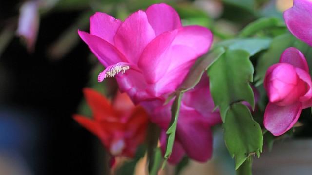 Grudniki mają piękne kwiaty. Ale nie zawsze chcą kwitnąć. Zobacz, na co zwrócić uwagę.