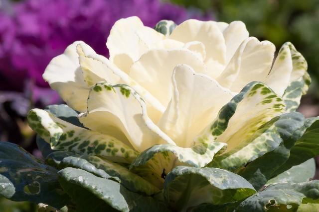 Kapusta ozdobna to jedna z niewielu roślin, której służą niskie temperatury. To daleka kuzynka kapusty jadalnej, efektowna jesienna dekoracja i prawdziwy strongman.