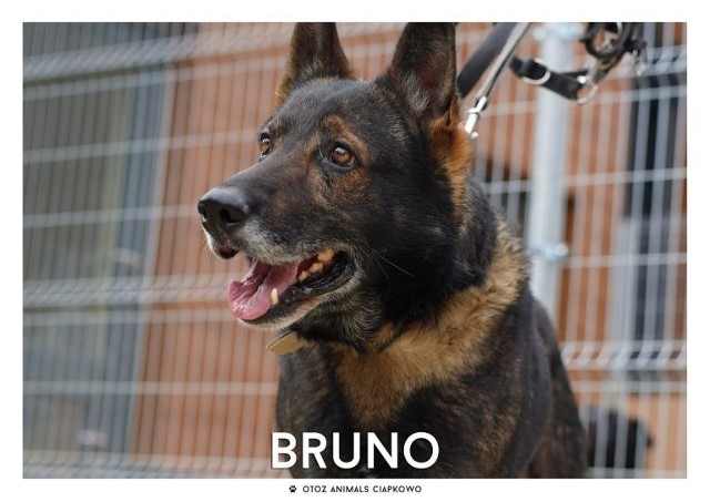 IMIĘ: BRUNO (96/20)PŁEĆ: PiesWIEK: około 9 latRASA: OwczarkowatyWIELKOŚĆ: DużyCZIP: BRAKZDROWIE: Bez zauważalnych problemów zdrowotnych.CHARAKTER: Pewny siebie, stanowczy, idealny jako stróż posesji, Bruno całe swoje życie spędził na łańcuchu, jest psem który akceptuje wybrane osoby.DLA KOGO: Dla osoby konsekwentnej, mającej doświadczenie z psami problemowymi.