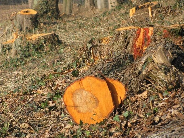 W parku w Brzozie można znaleźć kilkadziesiąt pni po wyciętych drzewach.