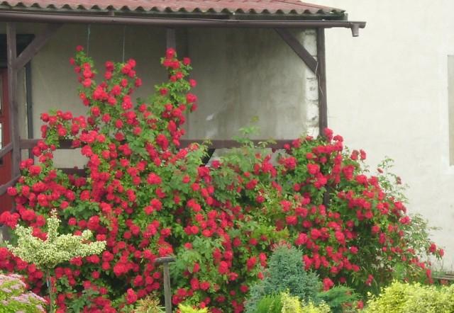 Róże w ogrodzie Róże staną się idealną dekoracją domu i ogrodu, jeśli zapewnimy im odpowiednie warunki do wzrostu. Ziemia obficie nawieziona, dobrze trzymająca wilgoć, ale pulchna - to podstawa w uprawie tych kwiatów.