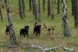 Dzikie psy postrachem okolic Międzyrzecza. Mieszkańcy się boją. Co można zrobić?