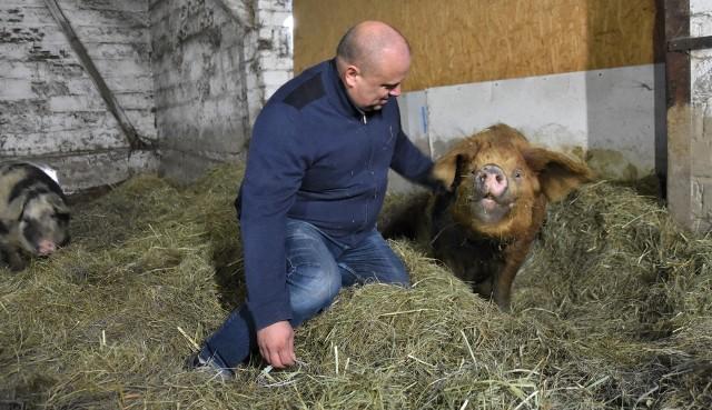 """W gospodarstwie Aliny i Tomasza Mazurów, Czaruś pojawił się jako pierwszy w świńskim stadzie, teraz jest """"na emeryturze"""""""