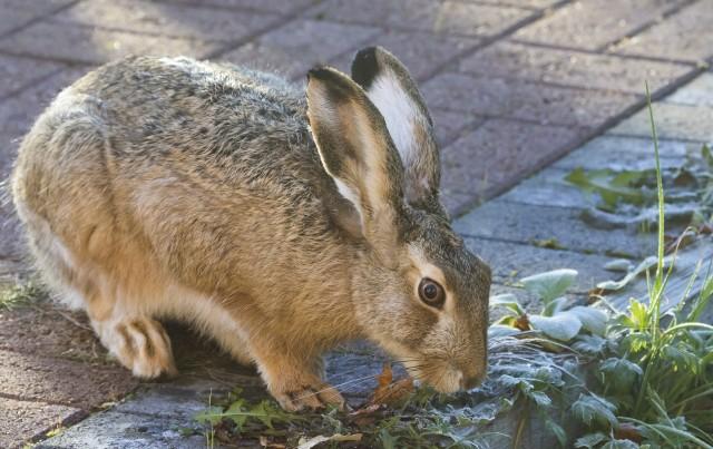 Szarakom zagraża duża populacja lisów