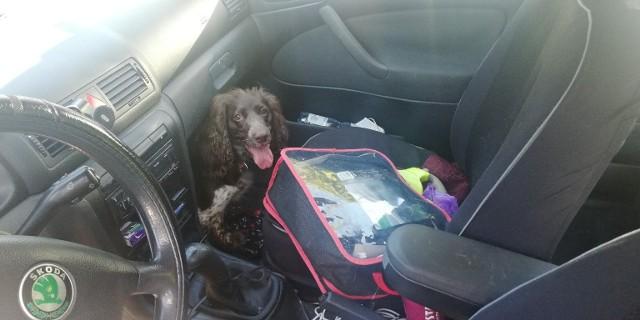 Gdyńska straż miejska uratowała psa uwięzionego w rozgrzanym samochodzie