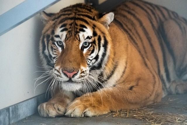 W zeszłym tygodniu jego pracownicy pojechali ratować 9 z 10 tygrysów, które utknęły na granicy polsko-białoruskiej.