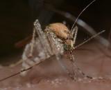 Czy komary mogą przenosić koronawirusa? Czy ich ukłucie zagraża zapadnięciem na COVID-19?