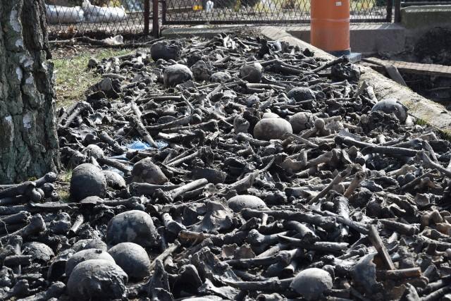 Ludzkie kości i czaszki odkryli archeolodzy podczas prac rewitalizacyjnych przy kościele w Sępólnie Krajeńskim