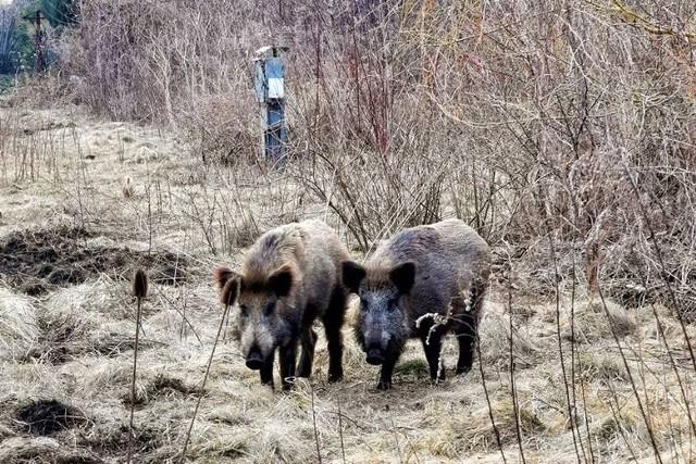 Dziki żyją w Toruniu od kilku miesięcy