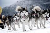 Wyścigi psich zaprzęgów w Bieszczadach (zdjęcia)
