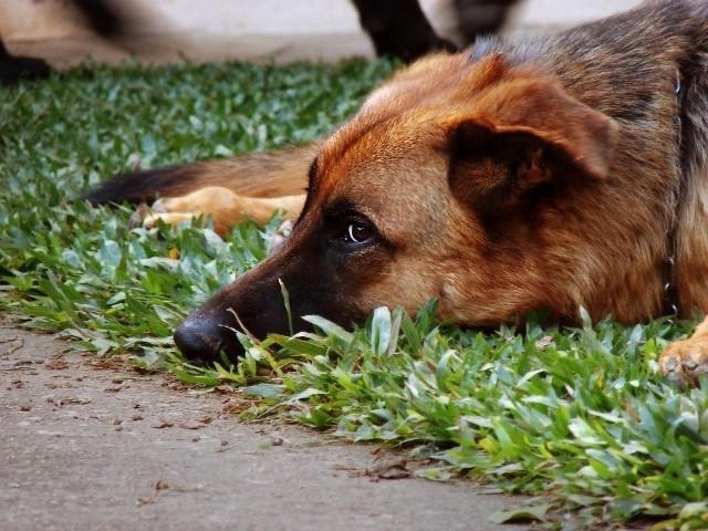 Psy zostały przewiezione do schroniska dla zwierząt.