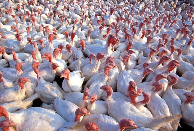 Polscy hodowcy nadal zmagają się z grypą ptaków. GLW potwierdził kolejne ogniska