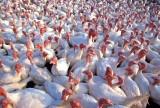 Ptasia grypa nie daje za wygraną. Ogniska grypy ptaków na kolejnych 6 fermach w Polsce
