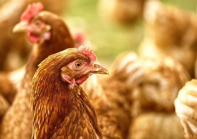 Wystąpienie ptasiej grypy na terenie gospodarstwa powoduje wiele następstw. Jest to szereg zakazów i nakazów obowiązujących na terenie miejscowości wskazanych przez wojewodę w rozporządzeniu. Szczegóły pod zdjęciami --->