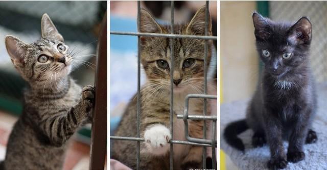 W toruńskim schronisku jest obecnie prawie 260 kotów. Większość z nich to maluchy, które bez naszej pomocy mogą nie prztrwać