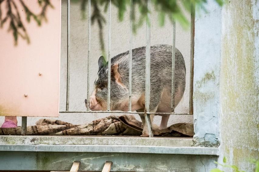 W bloku na bydgoskich Wyżynach na balkonie mieszka......