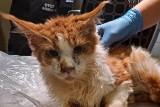 Gehenna kotów z hodowli maine coonów z Jasła. Jej właścicielki usłyszały zarzuty. 140 zwierząt żyło w okropnych warunkach [ZDJĘCIA]