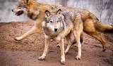 Reputacja wilka niezasłużenie jest malowana w bardzo czarnych kolorach [rozmowa]
