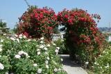 Róże zachwycają zapachem i kolorami w Ogrodzie Botanicznym w Kielcach. Teraz są najpiękniejsze. W niedzielę ich święto [ZDJĘCIA]