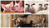 Będą ułatwienia w rejestracji zwierząt gospodarskich, zapowiada ministerstwo rolnictwa