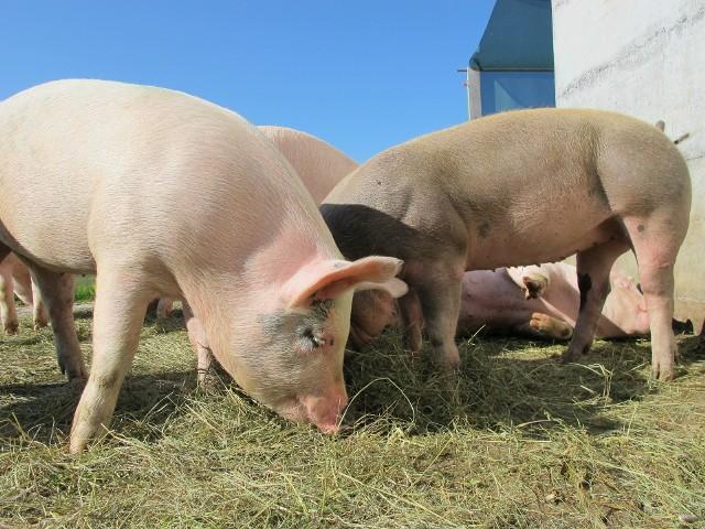 Firma nie dostanie odszkodowania za wybice ponad 20 tys. świń.