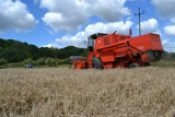 Deszcze przyciemniły kłosy, pogoda wpłynęła na jakość zbóż