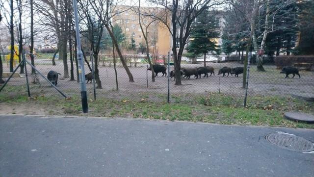 W poniedziałek po godz. 7 rano poznańska straż miejska otrzymała zgłoszenie o wtargnięciu około 10 dzików na teren ogródka przedszkolnego na osiedlu Tysiąclecia - Biały Orzeł. Zobacz więcej zdjęć ---->