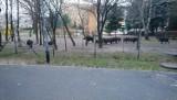 Dziki na terenie przedszkola w Poznaniu - dzieci w niebezpieczeństwie! Na miejsce wezwano łowczego [ZDJĘCIA]
