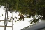 Tatry. Mężczyzna zaatakowany przez niedźwiedzia jest w dobrym stanie. TPN: ten pan nie powinien schodzić ze szlaku