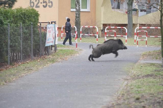 Dziki pojawiły się również w Ogrodzie Botanicznym w Poznaniu.