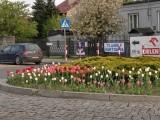 W Koluszkach widać wiosnę - w parku kwitną bratki, na rondach tulipany [ZDJĘCIA]