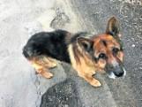 Pies dyrektorki szkoły z Ostrówka został uśpiony na jej prośbę. Mógł znaleźć nowy dom