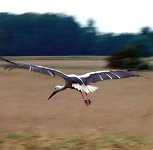 """Jesień już blisko. Bociany """"naradzają"""" się nad jeziorem Woświn koło Łobza. Za kilka dni opuszczą rodzinne strony. Wrócą do nas wiosną przyszłego roku."""
