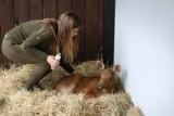 Ośrodek Rehabilitacji Zwierząt w Grzędach. Tu pomagają zwierzętom powrócić do natury (zdjęcia, wideo)