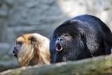 Nie żyje wyjec, który uciekł z zoo w Dolinie Charlotty (zdjęcia)