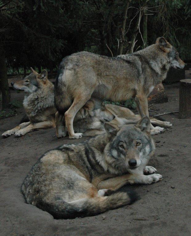 Czy wilki występują w Wielkopolsce? Czy jest ich zbyt dużo?...
