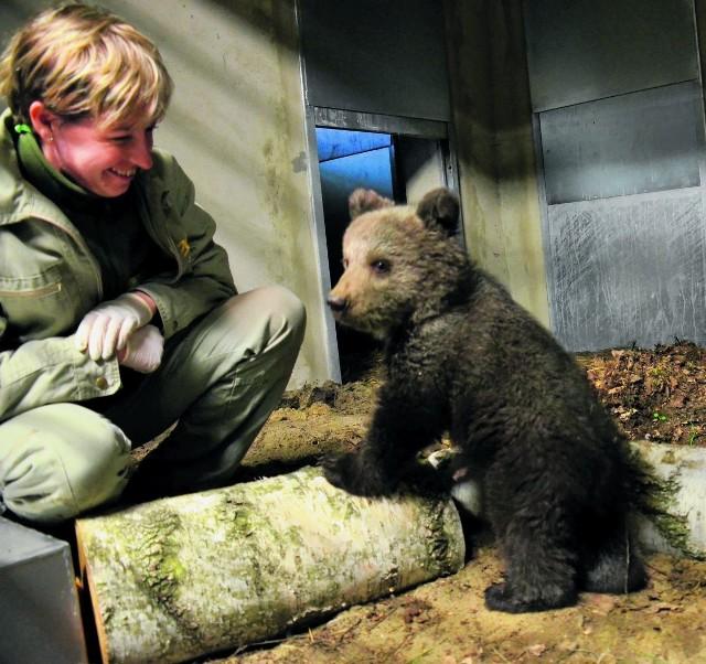 Niedźwiadkiem w azylu w Nowym Zoo zajmuje się na zmianę siedmioro opiekunów. Pod okiem asystentki ssaków drapieżnych - Mai Szymańskiej rośnie jak na drożdżach. Po tygodniu spędzonym w Poznaniu waży już 7 kilogramów