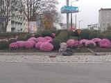 Kwiaty skupione przez państwo ozdobiły koluszkowskie rondo
