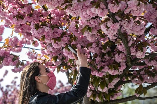 Kwitnące wiśnie pod Wawelem.