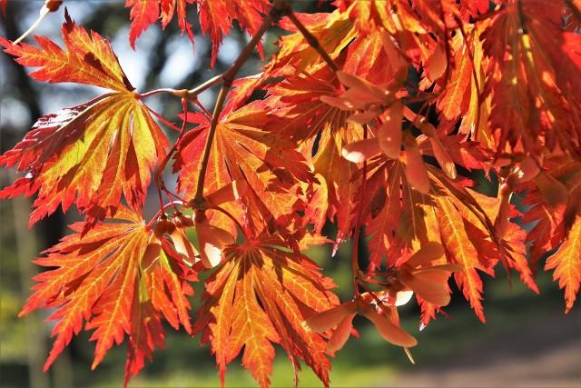 Jesienny ogród może być pełen barw, a to dzięki liściom drzew i krzewów, które wtedy przybierają piękne barwy. Zobacz, które warto mieć w ogrodzie.