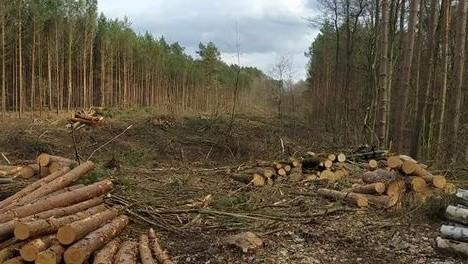W Nadleśnictwie Bogdaniec wycięto szeroki pas drzew.
