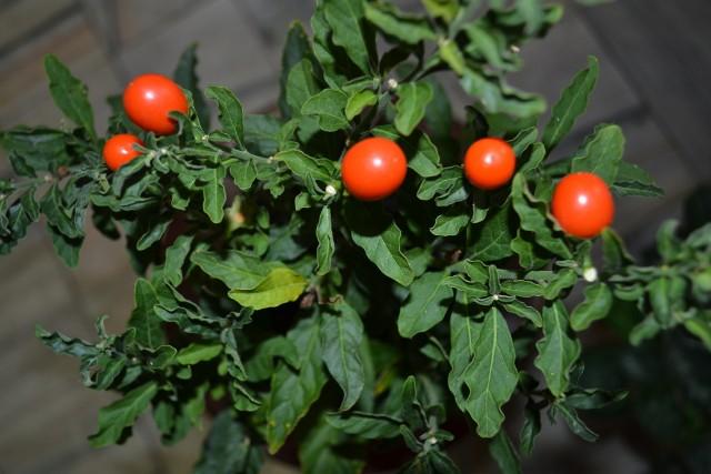 Psianka dekoracyjnaPsianka to roślina dekoracyjna. Urozmaici i nada barw każdemu mieszkaniu. Podczas pielęgnacji tej rośliny, nie zapomnij o przesadzaniu jej do większej doniczki. Rób to zawsze wiosną.