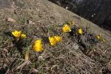 Wiosna przyszła do Parku Śląskiego. Krokusy, przebiśniegi i bazie już kwitną. Zobaczcie zdjęcia