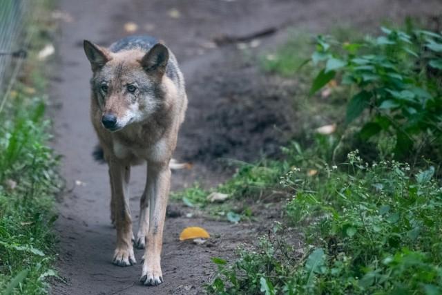 Aktywiści chcą ochronić wilki spod Swarzędza. Czy je odłowią?