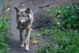 Aktywiści z ruchu antyłowieckiego chcą sami znaleźć i odłowić wilki pod Swarzędzem, nim te zostaną zabite przez myśliwych