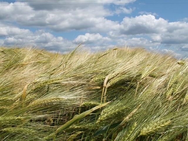 O tak dorodnym plonie niektórzy rolnicy będą mogli w tym roku tylko pomarzyć