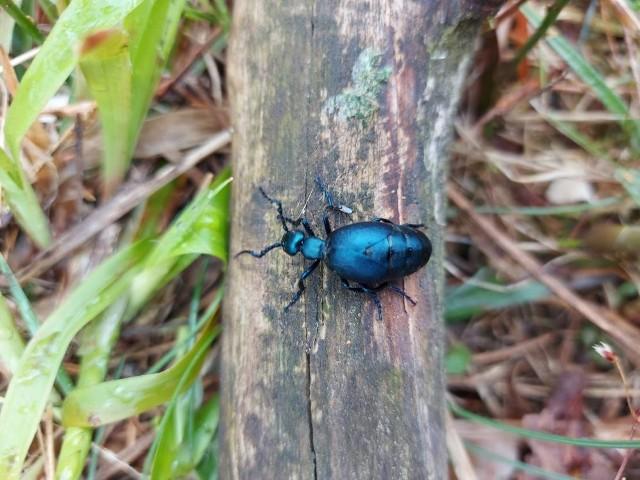 Lasy Państwowe ostrzegają przed owadem, który występuje na terenie całego kraju.